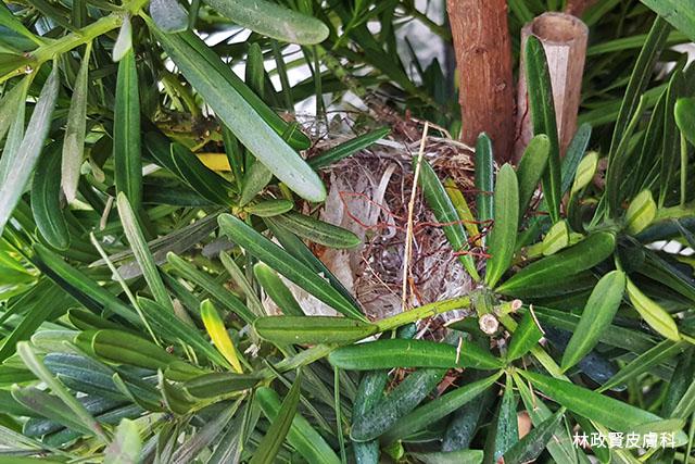 熱帶禽蟎,avian mite