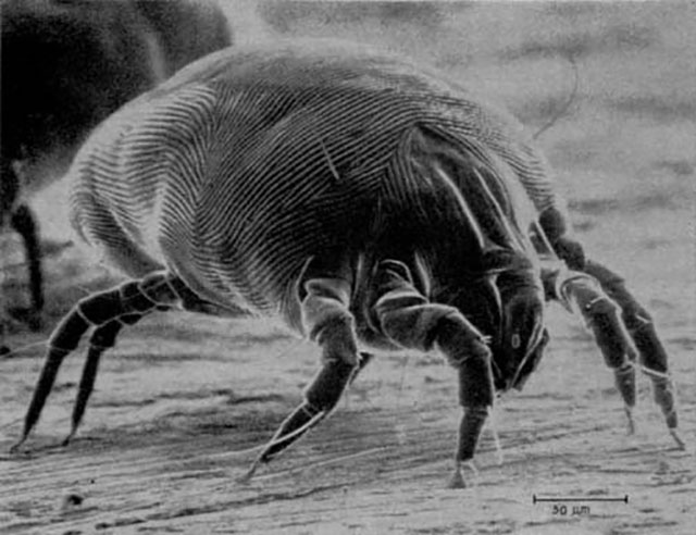 塵蟎,dust mite